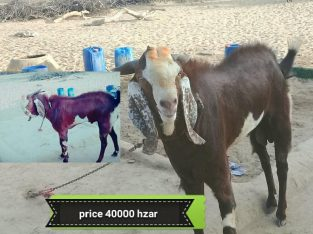 bakra on sale